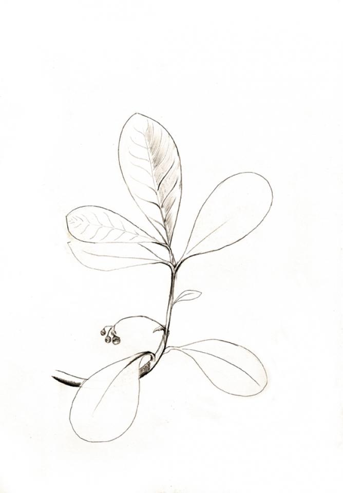 dessins botaniques  u2013 lom u00e9